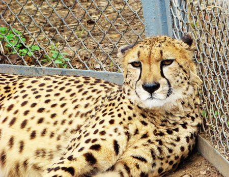 leant: cheetah lying on a grass, leant against a grid in a zoo