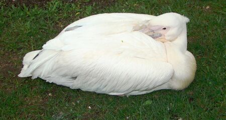membranes: Bird Pink pelican Pelecanus onocrotalus under which beak there is a leather bag for fish Stock Photo
