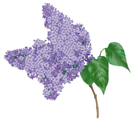 Lilac branch Illustration