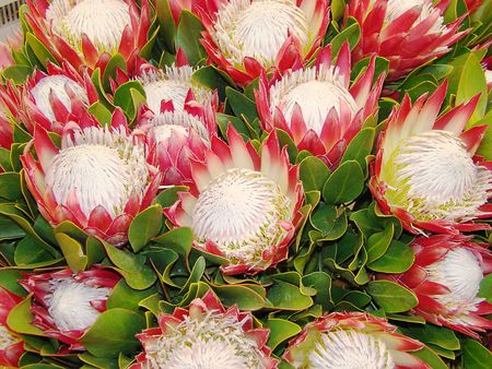 Protea cynaroides similar to an artichoke is a part of bouquets