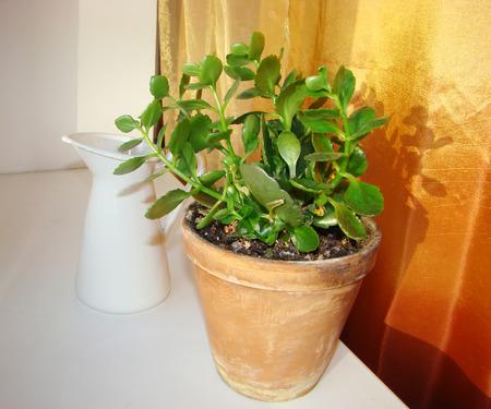 Kalanchoe blossfeldiana houseplant in a pot and a pitcher Stock Photo