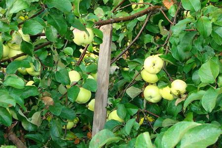 branches of apple backed boards sag under fruits