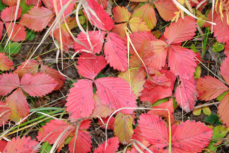 wild strawberry leaves turn red in autumn photo