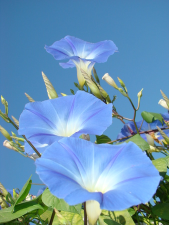 flowers and leaves of blue loach against the blue sky