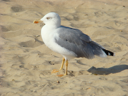 large bird: Herring Gull lat. Larus argentatus - a large bird family gull, widespread in Europe, Asia and North America