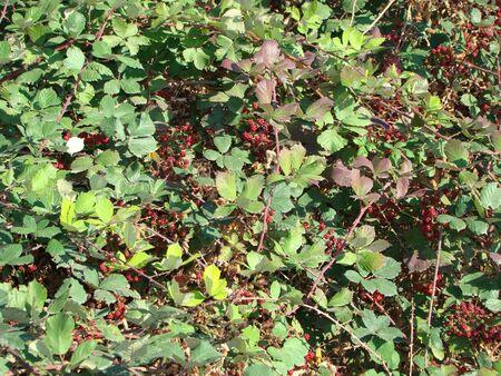 blackberry bush: thorny blackberry bush with berries Stock Photo