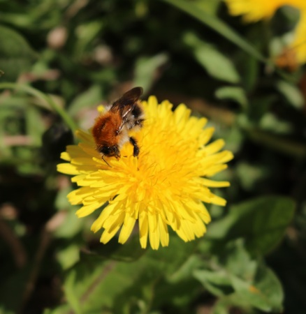 taraxacum: Taraxacum officinale, field or ordinary with bumblebee Stock Photo