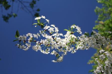 prunus: Cherry blossoms (Prunus subg Cerasus.) - A subgenus of the genus plum (Prunus) Pink family (Rosaceae)