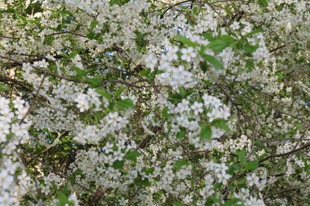 genus: Cherry blossoms (Prunus subg Cerasus.) - A subgenus of the genus plum (Prunus) Pink family (Rosaceae)