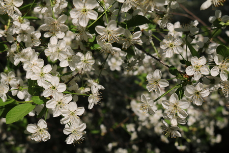 drupe: Cherry blossoms (Prunus subg Cerasus.) - A subgenus of the genus plum (Prunus) Pink family (Rosaceae)