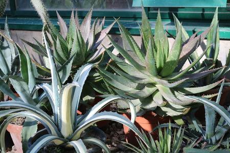 plants species: Aloe (ALO) - genere di piante grasse del santorreevye sottofamiglia asphodeloideae famiglia (Xanthorrhoeaceae), che contiene pi� di 500 specie Archivio Fotografico