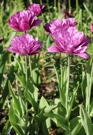 tulipa: Tulip (Tulipa) - genus of perennial herbaceous bulbous plants lily family