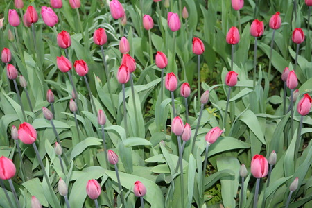 herbaceous: Tulip (Tulipa) - genus of perennial herbaceous bulbous plants lily family