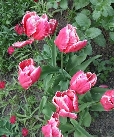vegetative: Tulip (Tulipa) - genus of perennial herbaceous bulbous plants lily family