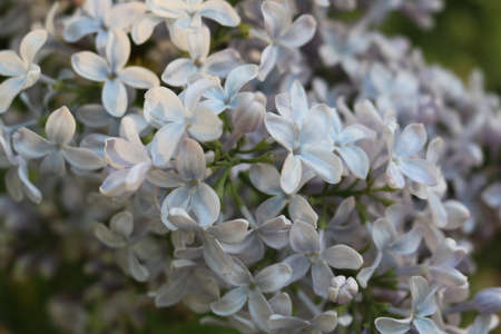 Lilac (Syringa) - beautiful blooming ornamental shrubs in gardens Stock Photo