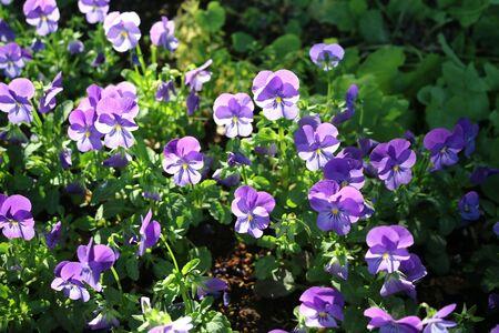 tricolor: Viola tricolor or Pansy (Viola tricolor) - a beautiful ornamental herb