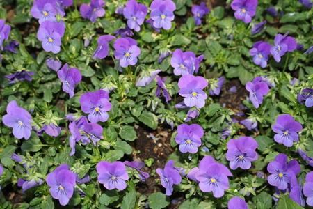 expectorant: Viola tricolor or Pansy (Viola tricolor) - a beautiful ornamental herb