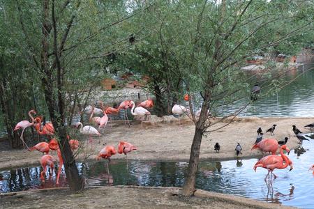 cackle: Pink flamingo Phoenicopterus roseus beautiful big bird feeds on crustaceans Stock Photo