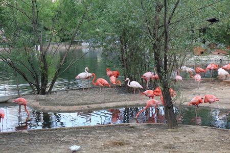 crustaceans: Pink flamingo Phoenicopterus roseus beautiful big bird feeds on crustaceans Stock Photo