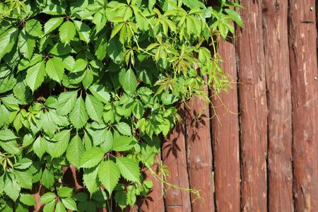 twined: green wooden fence twined lianas of hops