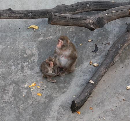 honshu: Japanese Macaque Macaca fuscata - snow monkeys living on the island of Honshu