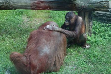 anthropoid: Orangutan Pongo pygmaeus - disappearing great apes Stock Photo