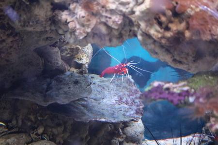decapod: Shrimp (Caridea) - decapod crustaceans commercial fishing facilities