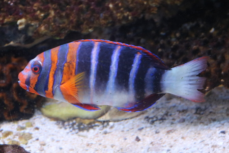 perciformes: Fish-angel (Pomacanthidae) bright marine fish from the order Perciformes