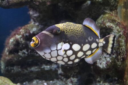 balistoides: Fish Triggerfish Clown Balistoides conspicillum and with powerful teeth, beak