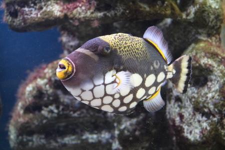 conspicillum: Fish Triggerfish Clown Balistoides conspicillum and with powerful teeth, beak
