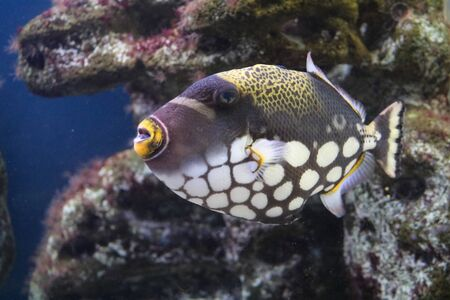 clown triggerfish: Fish Triggerfish Clown Balistoides conspicillum and with powerful teeth, beak