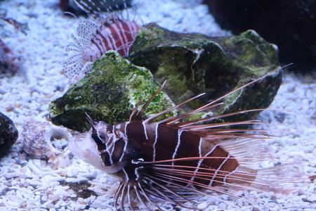 lionfish: Red lionfish, zebra fish, striped lionfish, lion fish (Pterois volitans) Stock Photo