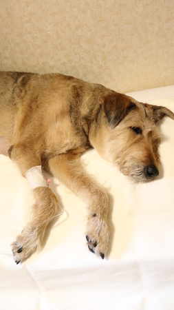 administered: a dog is sick, and it is administered IV Stock Photo