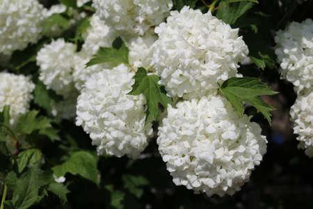 ornamental bush: ornamental bush viburnum buldenezh snow globe in garden