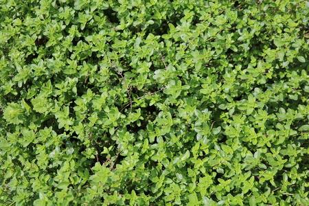 ornamental shrub: Boxwood (Buxus) woody plant ornamental shrub