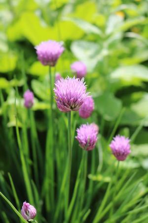 edible: Onion Allium flowering ornamental edible medicinal plant