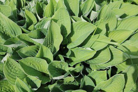popular: Host ornamental shrub is popular for landscaping
