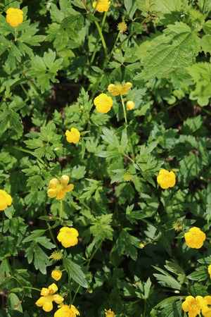 herbaceous  plant: Meadow buttercup (Ranunculus acris) poisonous herbaceous plant with yellow flowers
