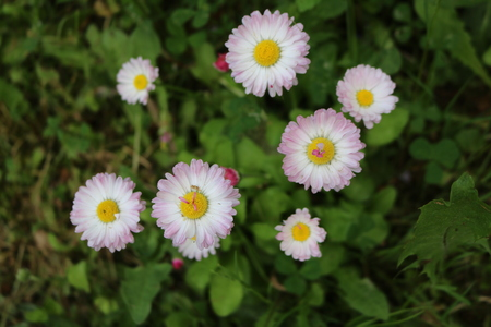 perennial: Daisy (Bellis) - genus of perennial plants of the family Asteraceae.