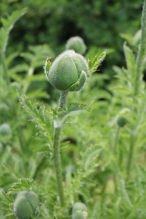 papaver: Poppy (Papaver) - a decorative garden plant opium