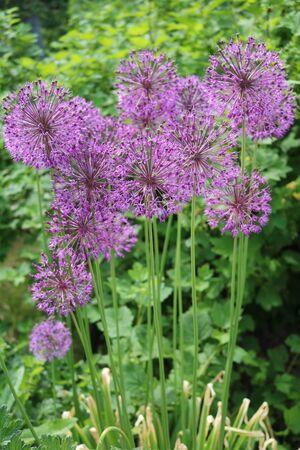 edible plant: Onion Allium flowering ornamental edible medicinal plant