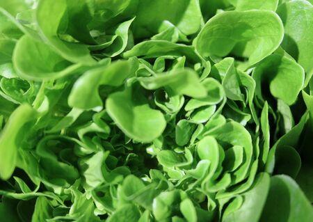 lactuca: Lettuce (Lactuca sativa) - herbaceous plants Asteraceae food culture