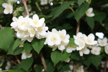 hydrangeaceae: Chubushnik (Philadelphus) - genus of shrubs of hydrangeaceae
