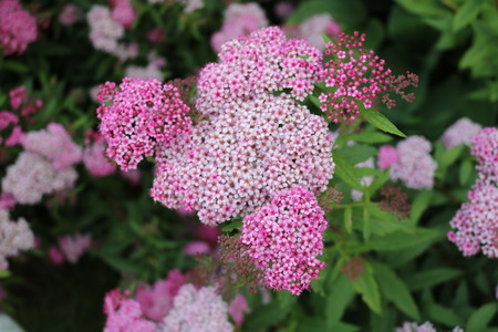 deciduous: Japanese Spirea (Spiraea japonica) - deciduous ornamental shrubs Stock Photo