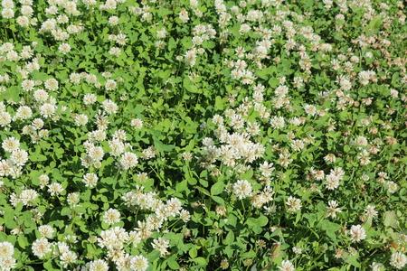 White clover, Dutch Clover, creeping Amor (Trifolium repens) Stock Photo