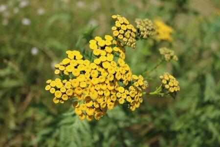 asteraceae: Tansy (Tanacetum) - perennial herbaceous plants Compositae (Asteraceae)