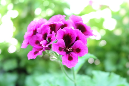 geranium color: Pelargonium (Pelargonium) popular houseplants with various flowers color