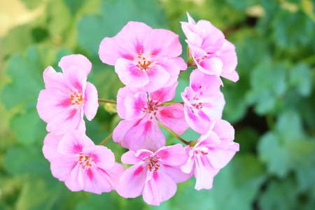 pelargonium: Pelargonium (Pelargonium) popular houseplants with various flowers color