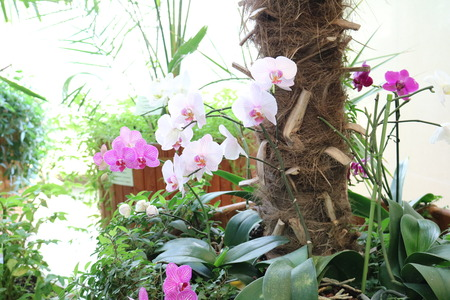 epiphytic: Phalaenopsis - epiphytic herbaceous plants Orchids with wonderful flower