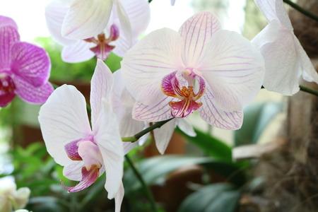 epiphytic: Phalaenopsis - epiphytic herbaceous plants Orchids with wonderful flower